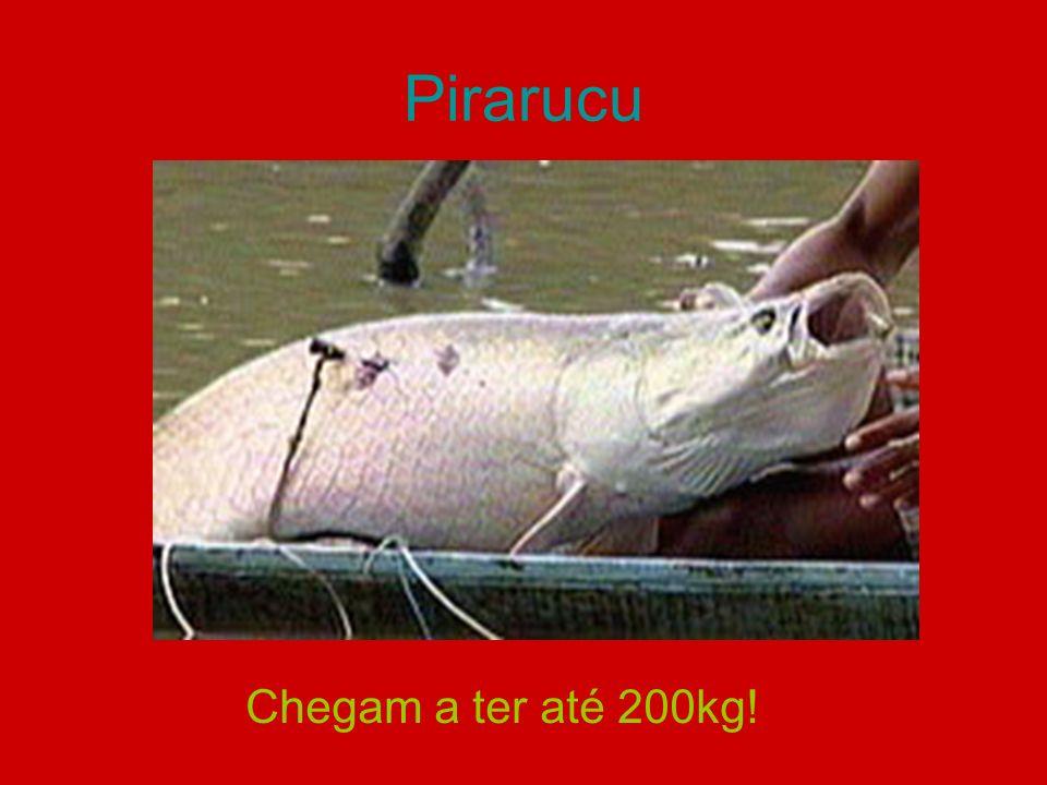 Pirarucu Chegam a ter até 200kg!