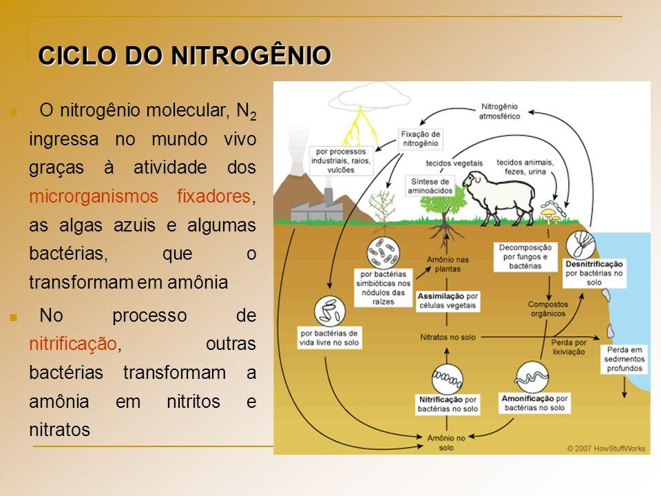 CICLO DO NITROGÊNIO O nitrogênio molecular, N 2 ingressa no mundo vivo graças à atividade dos microrganismos fixadores, as algas azuis e algumas bacté