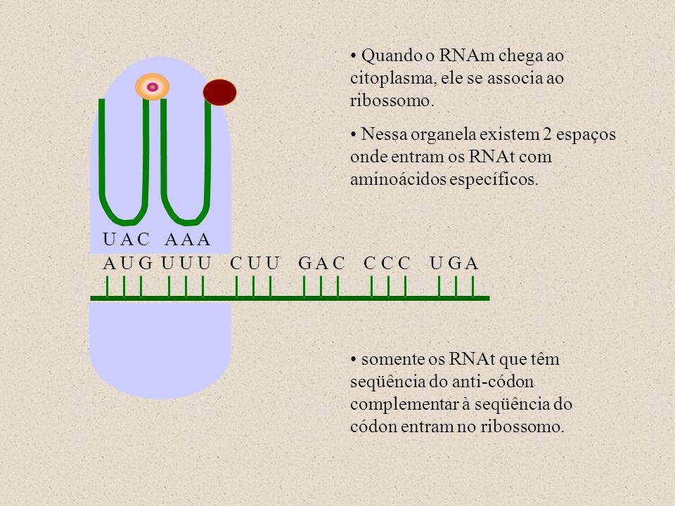 A U G U U U C U U G A C C C C U G A U A CA A A Quando o RNAm chega ao citoplasma, ele se associa ao ribossomo. Nessa organela existem 2 espaços onde e