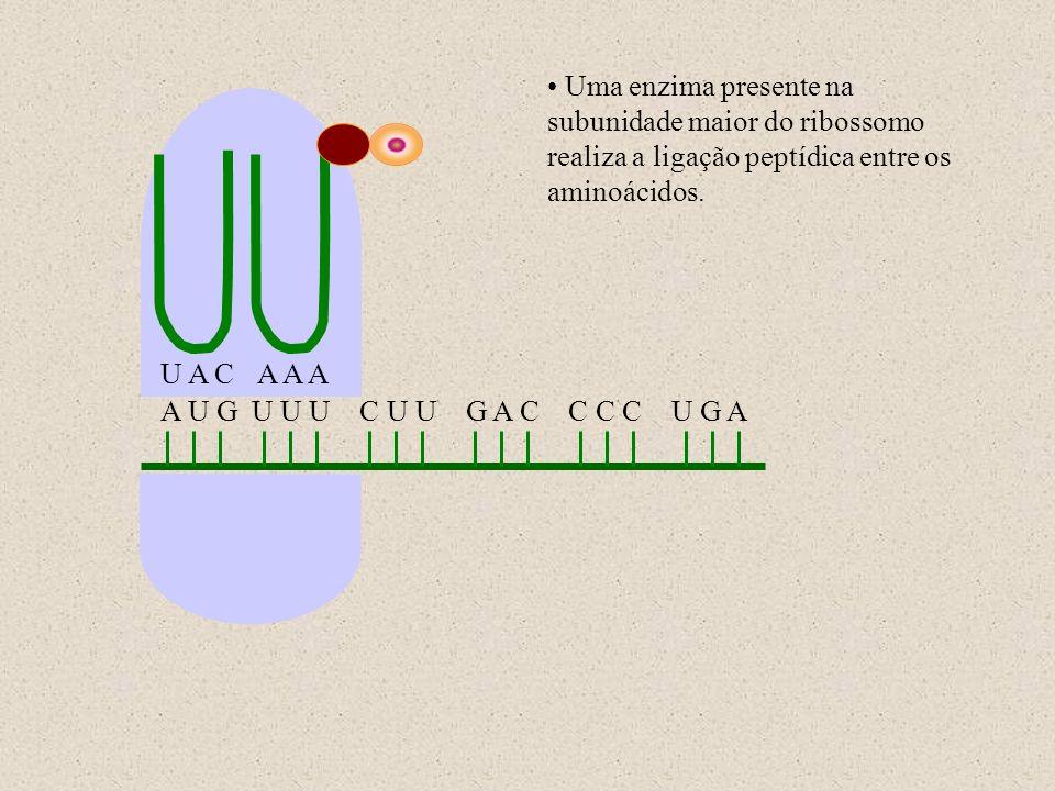 A U G U U U C U U G A C C C C U G A U A CA A A Uma enzima presente na subunidade maior do ribossomo realiza a ligação peptídica entre os aminoácidos.