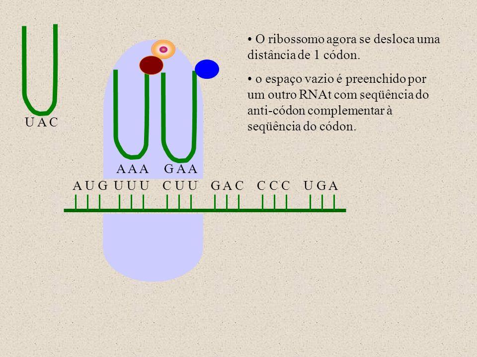 A U G U U U C U U G A C C C C U G A U A C A A AG A A O ribossomo agora se desloca uma distância de 1 códon. o espaço vazio é preenchido por um outro R