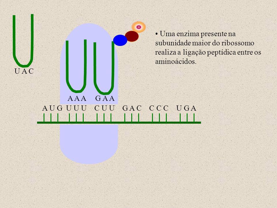 A U G U U U C U U G A C C C C U G A U A C A A AG A A Uma enzima presente na subunidade maior do ribossomo realiza a ligação peptídica entre os aminoác