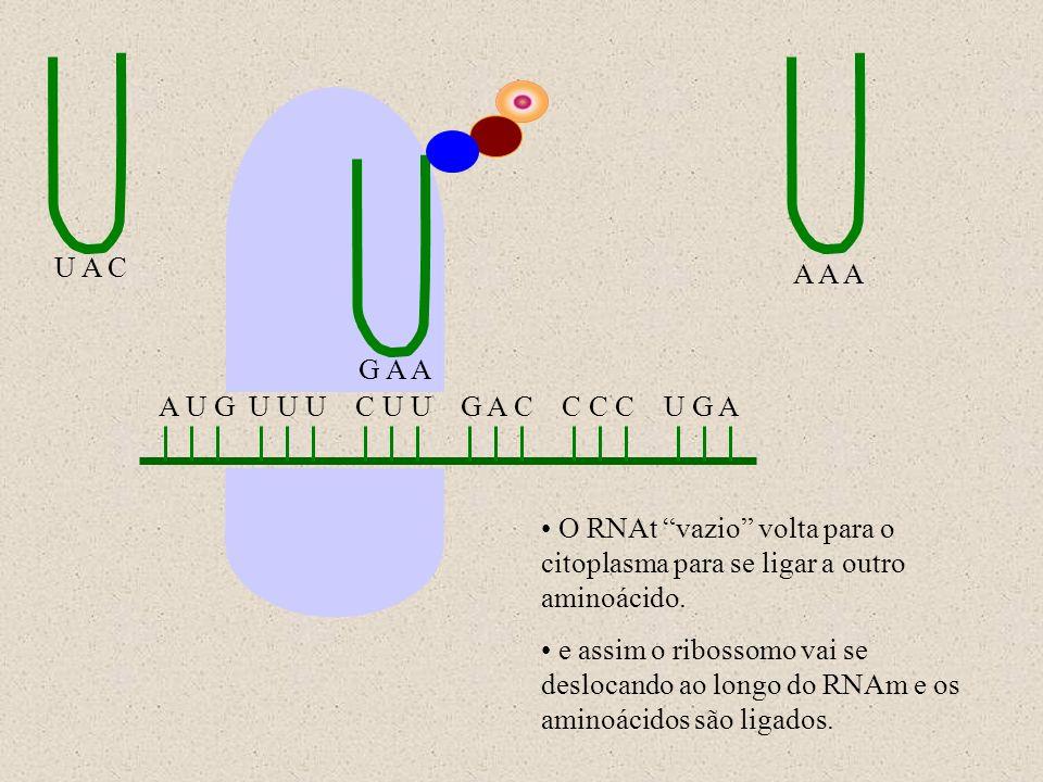 A U G U U U C U U G A C C C C U G A U A C A A A G A A O RNAt vazio volta para o citoplasma para se ligar a outro aminoácido. e assim o ribossomo vai s