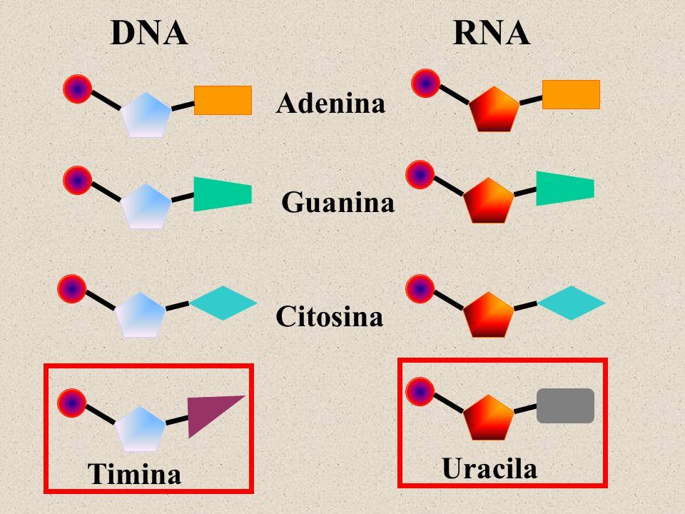 DNARNA Adenina Guanina Citosina Timina Uracila