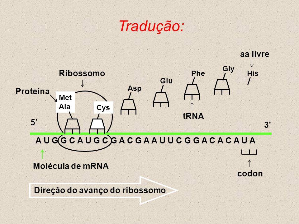 Tradução: Molécula de mRNA A U G G C A U G C G A C G A A U U C G G A C A C A U A Cys Met Ala 5 3 Asp Glu PheHis Direção do avanço do ribossomo Ribosso