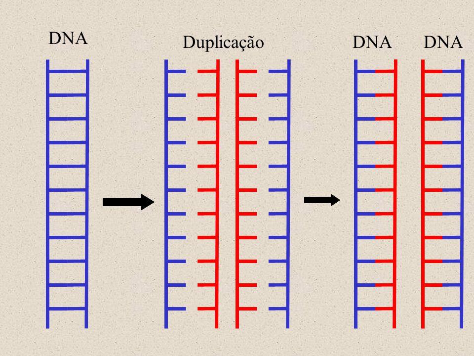 DOGMA CENTRAL A informação genética, armazenada nos cromossomos, é transferida às células filhas através da replicação do DNA, é expressa através da transcrição em RNAm e tradução subsequente em cadeias polipeptídicas.