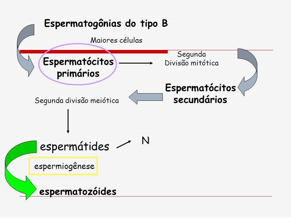 Espermatogônias do tipo B Espermatócitos primários Segunda Divisão mitótica Espermatócitos secundários Segunda divisão meiótica espermátides espermatozóides espermiogênese N Maiores células
