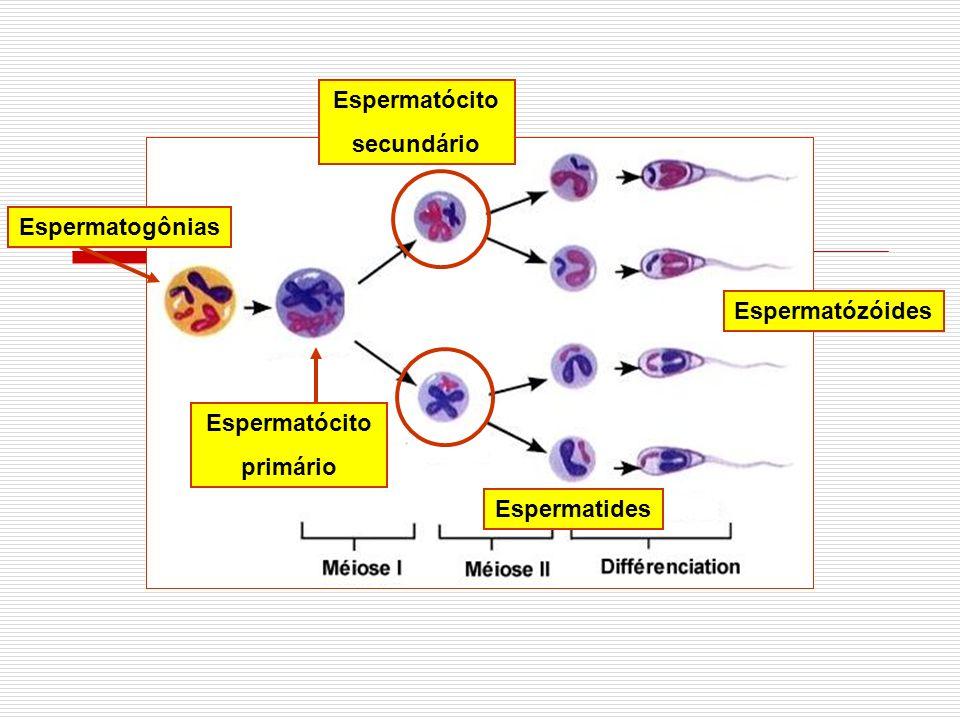 Espermatócito secundário Espermatides Espermatózóides Espermatogônias Espermatócito primário