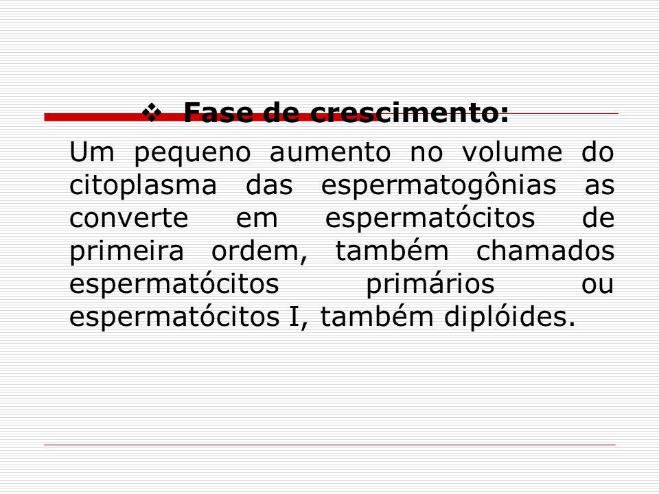Fase de crescimento: Um pequeno aumento no volume do citoplasma das espermatogônias as converte em espermatócitos de primeira ordem, também chamados espermatócitos primários ou espermatócitos I, também diplóides.