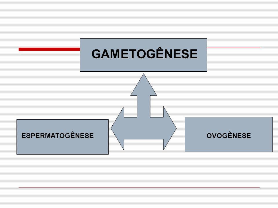 GAMETOGÊNESE ESPERMATOGÊNESE OVOGÊNESE