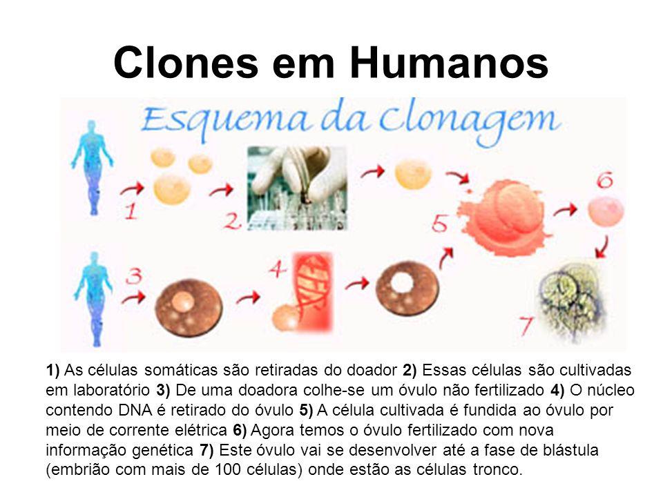 Clones em Humanos 1) As células somáticas são retiradas do doador 2) Essas células são cultivadas em laboratório 3) De uma doadora colhe-se um óvulo n