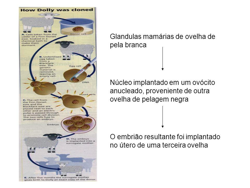 Glandulas mamárias de ovelha de pela branca Núcleo implantado em um ovócito anucleado, proveniente de outra ovelha de pelagem negra O embrião resultan