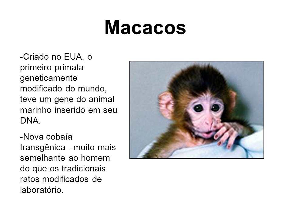 Macacos -Criado no EUA, o primeiro primata geneticamente modificado do mundo, teve um gene do animal marinho inserido em seu DNA. -Nova cobaía transgê