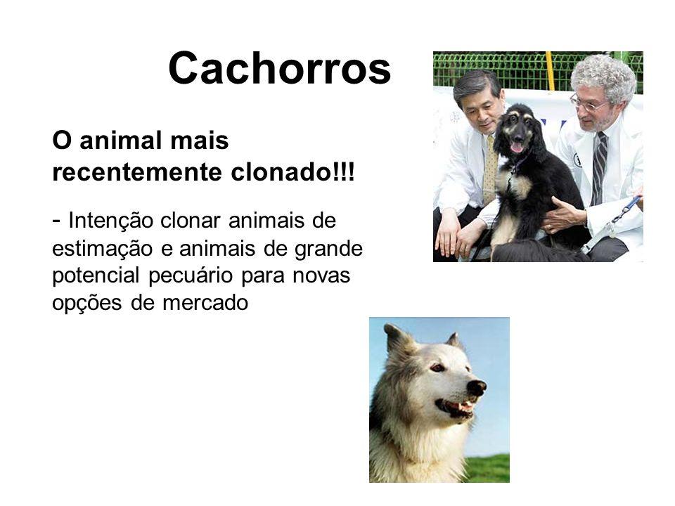 Cachorros O animal mais recentemente clonado!!! - Intenção clonar animais de estimação e animais de grande potencial pecuário para novas opções de mer