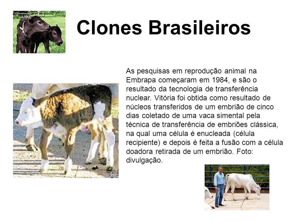 Clones Brasileiros Bovinos As pesquisas em reprodução animal na Embrapa começaram em 1984, e são o resultado da tecnologia de transferência nuclear. V