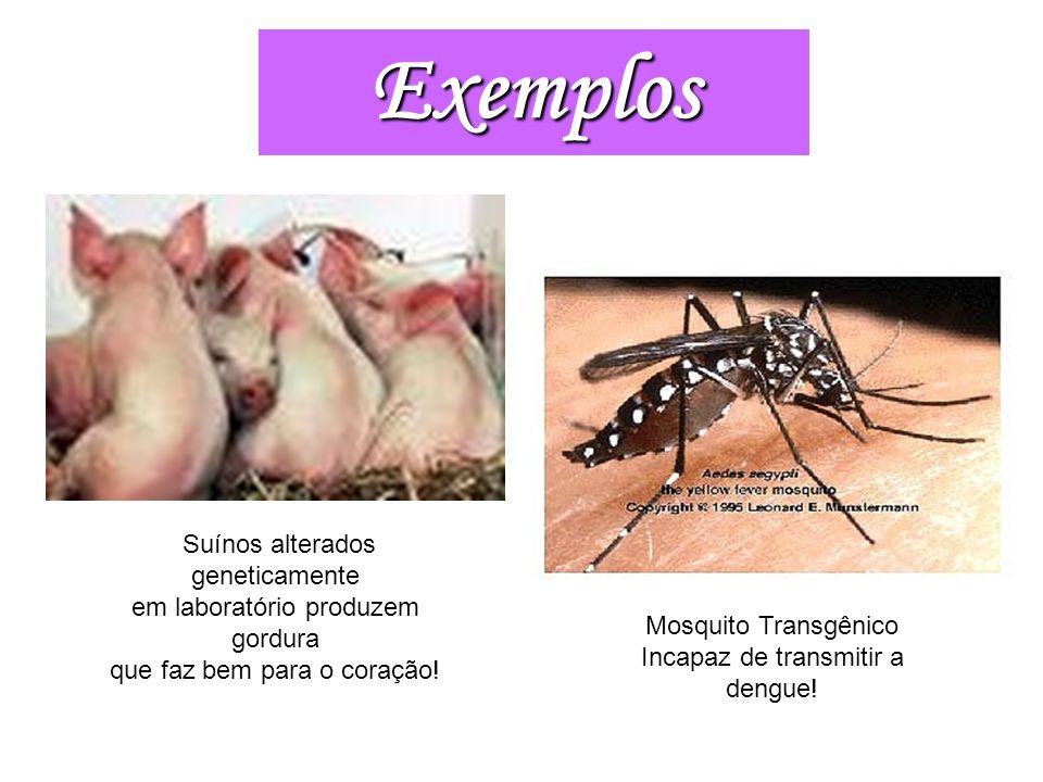 Suínos alterados geneticamente em laboratório produzem gordura que faz bem para o coração! Mosquito Transgênico Incapaz de transmitir a dengue! Exempl