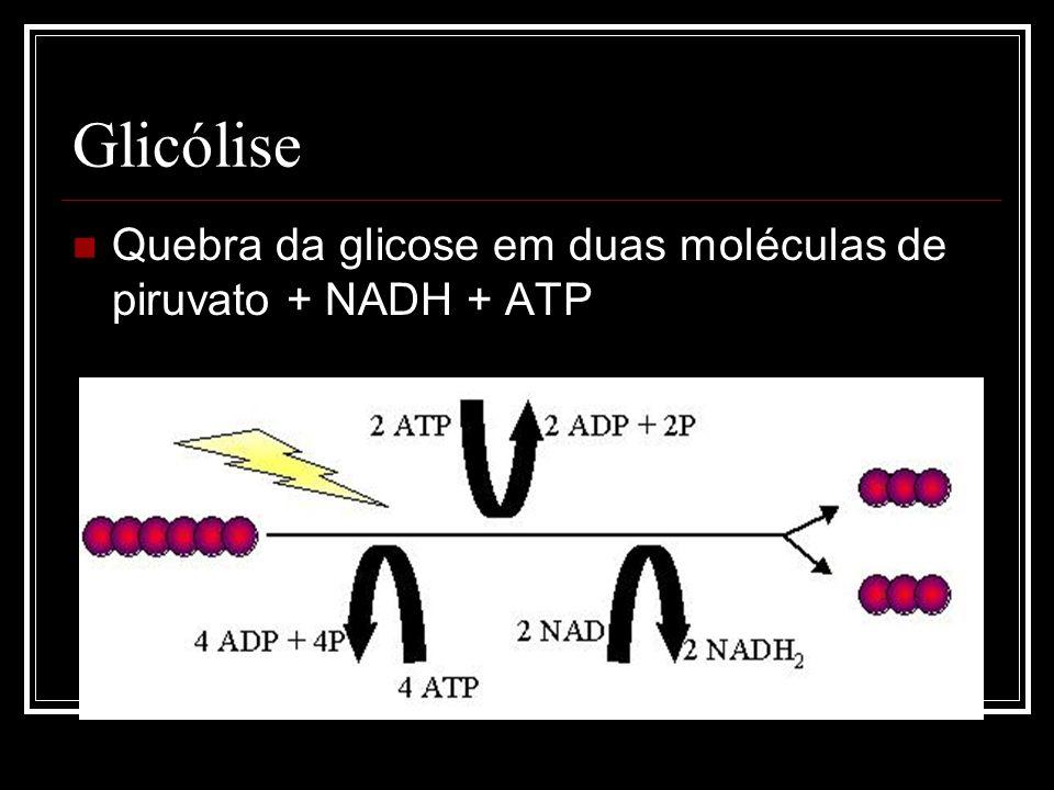 Respiração Celular Glicólise – ocorre no hialoplasma. Ciclo de Krebs – dá-se no interior das mitocôndrias ao nível da matriz mitocondrial. Cadeia resp
