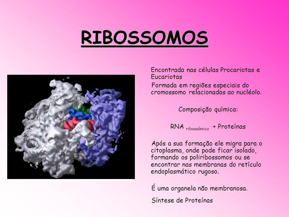 RIBOSSOMOS Encontrada nas células Procariotas e Eucariotas Formada em regiões especiais do cromossomo relacionadas ao nucléolo. Composição química: RN