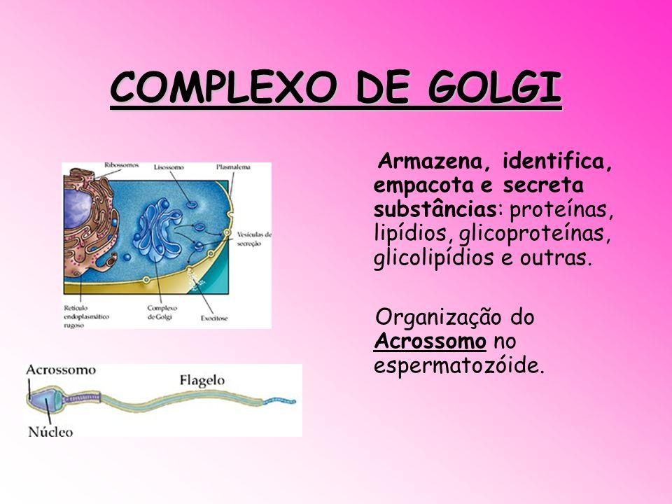 COMPLEXO DE GOLGI Armazena, identifica, empacota e secreta substâncias: proteínas, lipídios, glicoproteínas, glicolipídios e outras.