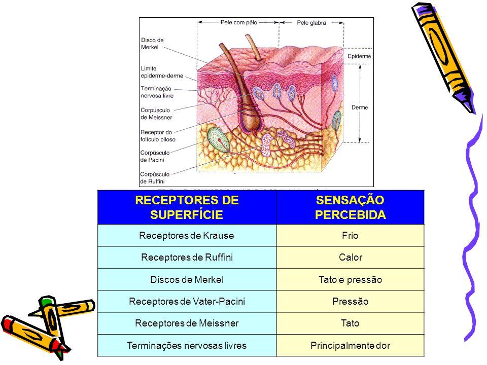 RECEPTORES DE SUPERFÍCIE SENSAÇÃO PERCEBIDA Receptores de KrauseFrio Receptores de RuffiniCalor Discos de MerkelTato e pressão Receptores de Vater-Pac
