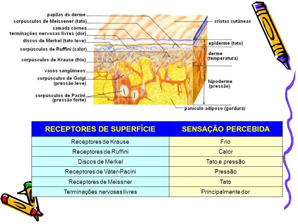 RECEPTORES DE SUPERFÍCIESENSAÇÃO PERCEBIDA Receptores de KrauseFrio Receptores de RuffiniCalor Discos de MerkelTato e pressão Receptores de Vater-Paci