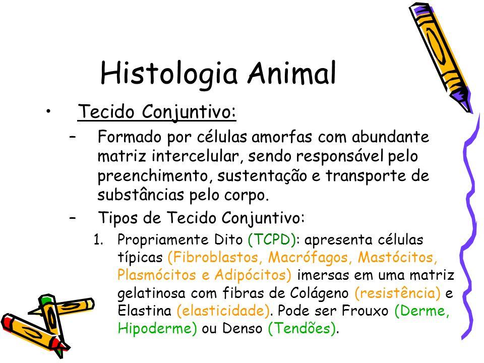 Histologia Animal Tecido Conjuntivo: –Formado por células amorfas com abundante matriz intercelular, sendo responsável pelo preenchimento, sustentação