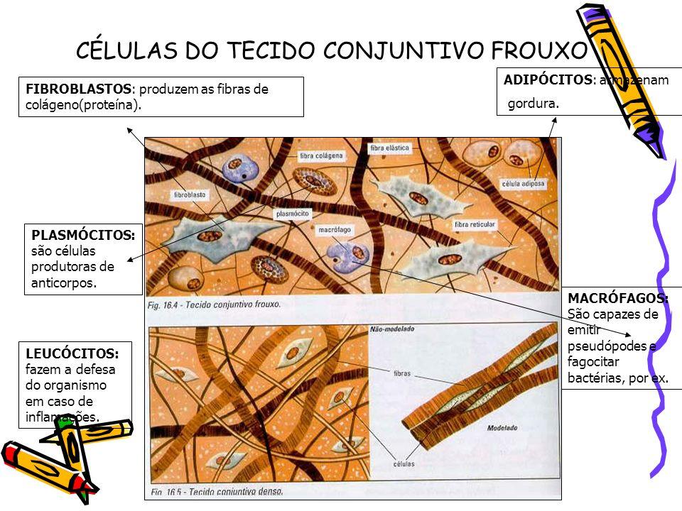 CÉLULAS DO TECIDO CONJUNTIVO FROUXO ADIPÓCITOS: armazenam gordura. FIBROBLASTOS: produzem as fibras de colágeno(proteína). PLASMÓCITOS: são células pr