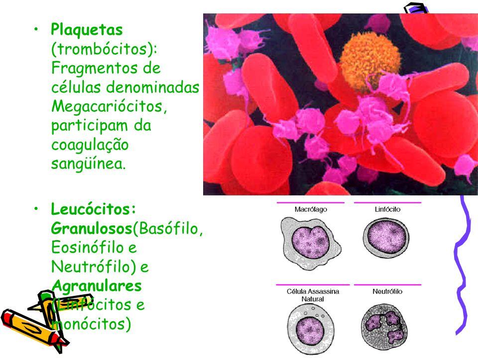 Plaquetas (trombócitos): Fragmentos de células denominadas Megacariócitos, participam da coagulação sangüínea. Leucócitos: Granulosos(Basófilo, Eosinó