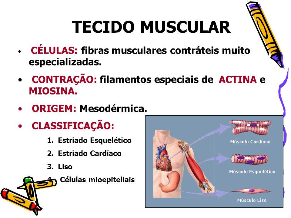 TECIDO MUSCULAR CÉLULAS: fibras musculares contráteis muito especializadas. CONTRAÇÃO: filamentos especiais de ACTINA e MIOSINA. ORIGEM: Mesodérmica.