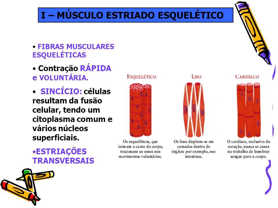 I – MÚSCULO ESTRIADO ESQUELÉTICO FIBRAS MUSCULARES ESQUELÉTICAS Contração RÁPIDA e VOLUNTÁRIA. SINCÍCIO: células resultam da fusão celular, tendo um c