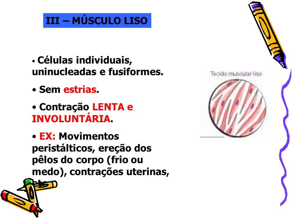 III – MÚSCULO LISO Células individuais, uninucleadas e fusiformes. Sem estrias. Contração LENTA e INVOLUNTÁRIA. EX: Movimentos peristálticos, ereção d