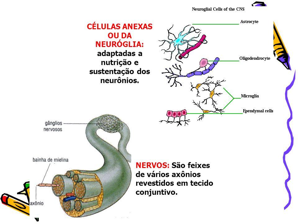 CÉLULAS ANEXAS OU DA NEURÓGLIA: adaptadas a nutrição e sustentação dos neurônios. NERVOS: São feixes de vários axônios revestidos em tecido conjuntivo