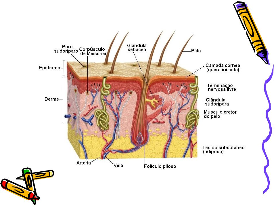 Tecido Sangüíneo Hemácia: Anucleadas, bicôncavas, que possuem um pigmento respiratório chamado hemoglobina responsável pelo transporte de O 2 e CO 2.