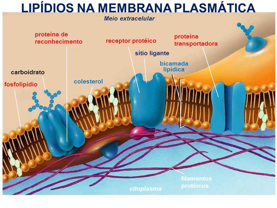 www.bioaula.com.br Meio extracelular citoplasma filamentos protéicos proteína de reconhecimento receptor protéico proteína transportadora sítio ligante bicamada lipídica fosfolipídio colesterol carboidrato LIPÍDIOS NA MEMBRANA PLASMÁTICA