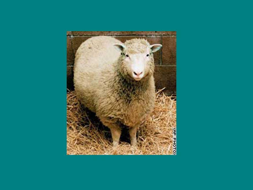 A ovelha Dolly (5 de julho de 1996 14 de fevereiro de 2003) foi o primeiro mamífero a ser clonado com sucesso a partir de uma célula adulta.