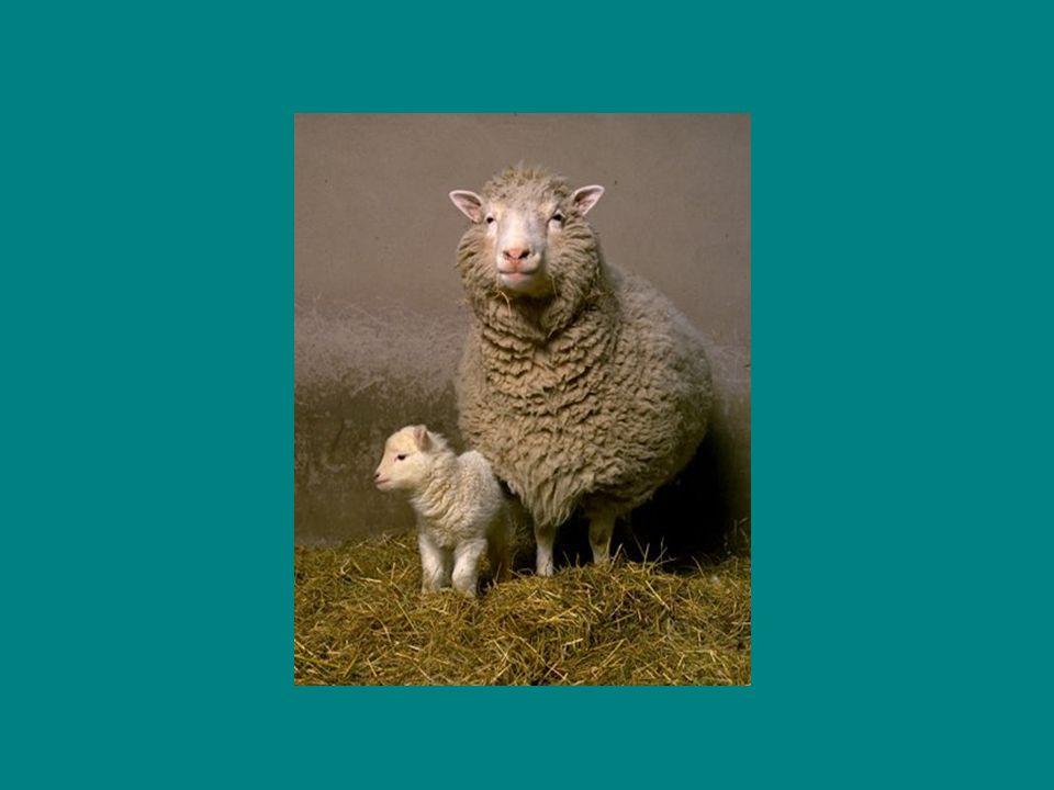 Em 1999 foi divulgado na revista Nature que Dolly poderia ter a desenvolver formas de envelhecimento precoce, uma vez que os seus telómeros eram mais curtos que os das ovelhas normais.
