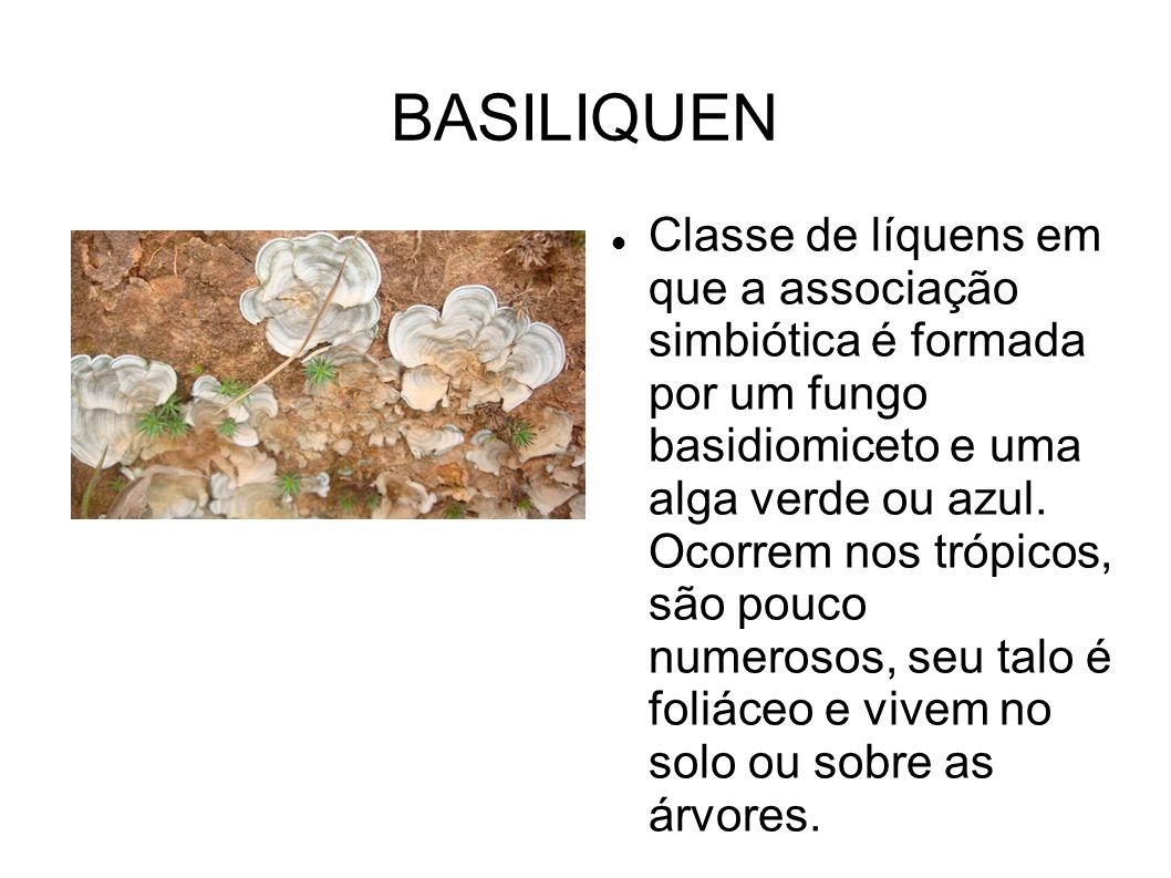 BASILIQUEN Classe de líquens em que a associação simbiótica é formada por um fungo basidiomiceto e uma alga verde ou azul. Ocorrem nos trópicos, são p