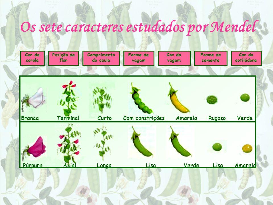 Os sete caracteres estudados por Mendel Cor da corola Posição da flor Comprimento do caule Forma da vagem Cor da vagem Forma da semente Cor do cotilédone Branca Terminal Curto Com constrições Amarela Rugoso Verde Púrpura Axial Longo Lisa Verde Lisa Amarelo
