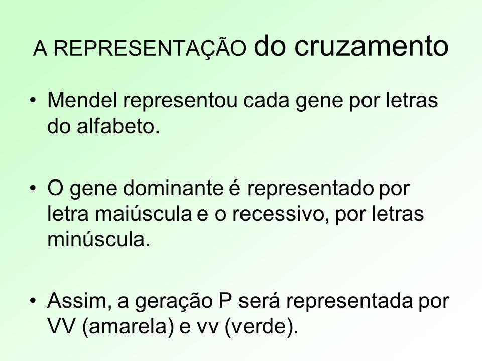 A REPRESENTAÇÃO do cruzamento Mendel representou cada gene por letras do alfabeto. O gene dominante é representado por letra maiúscula e o recessivo,