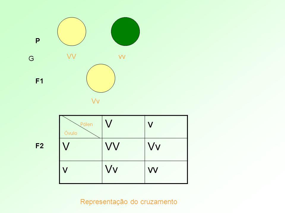 P VVvv Vv G F1 Vv VVVVv v vv Pólen Óvulo Representação do cruzamento F2
