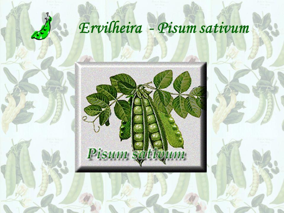 Ervilheira - Pisum sativum