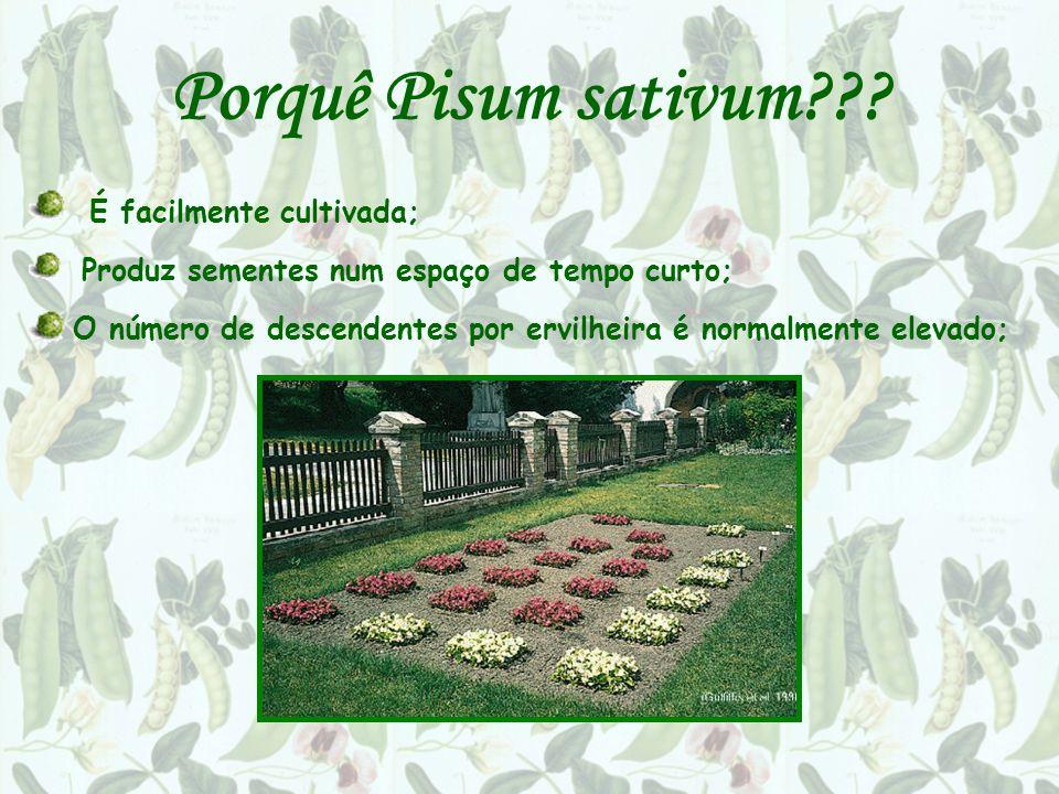 Porquê Pisum sativum??? É facilmente cultivada; Produz sementes num espaço de tempo curto; O número de descendentes por ervilheira é normalmente eleva