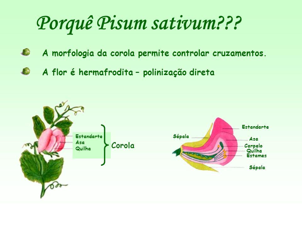 Estandarte Asa Quilha Porquê Pisum sativum??? A morfologia da corola permite controlar cruzamentos. Corola A flor é hermafrodita – polinização direta