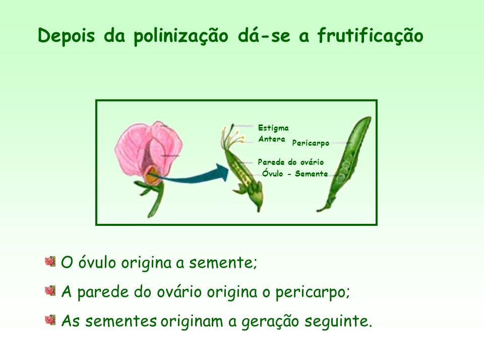 Depois da polinização dá-se a frutificação Estigma Antera Parede do ovário Óvulo - Semente Pericarpo O óvulo origina a semente; A parede do ovário origina o pericarpo; As sementes originam a geração seguinte.