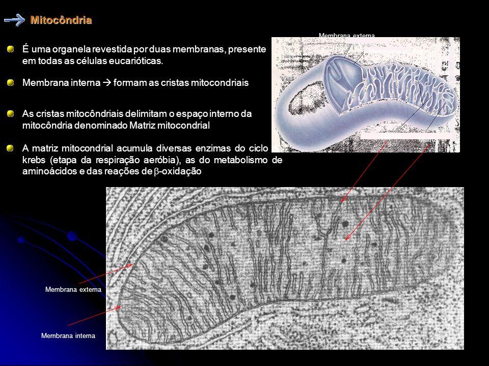 AS MITOCONDRIAS, ASSIM COMO OS CLOROPLASTOS, APRESENTAM EM SEU INTERIOR FRAGMENTOS DE DNA DISTINTOS DO DNA NUCLEAR; A HIPOTESE MAIS ACEITA E QUE AMBOS