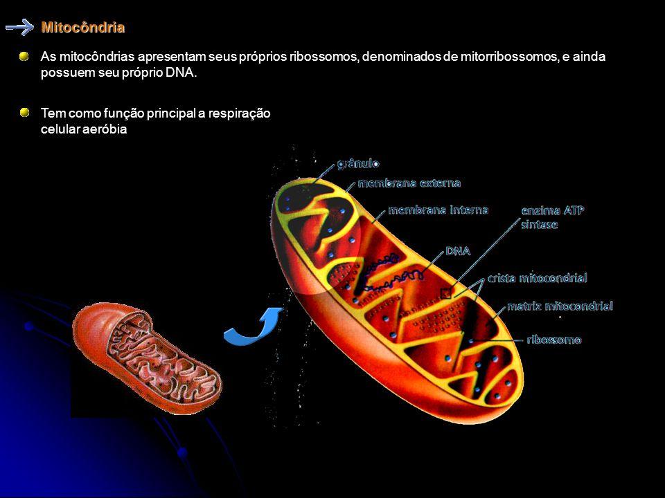 Mitocôndria É uma organela revestida por duas membranas, presente em todas as células eucarióticas. Membrana interna formam as cristas mitocondriais A