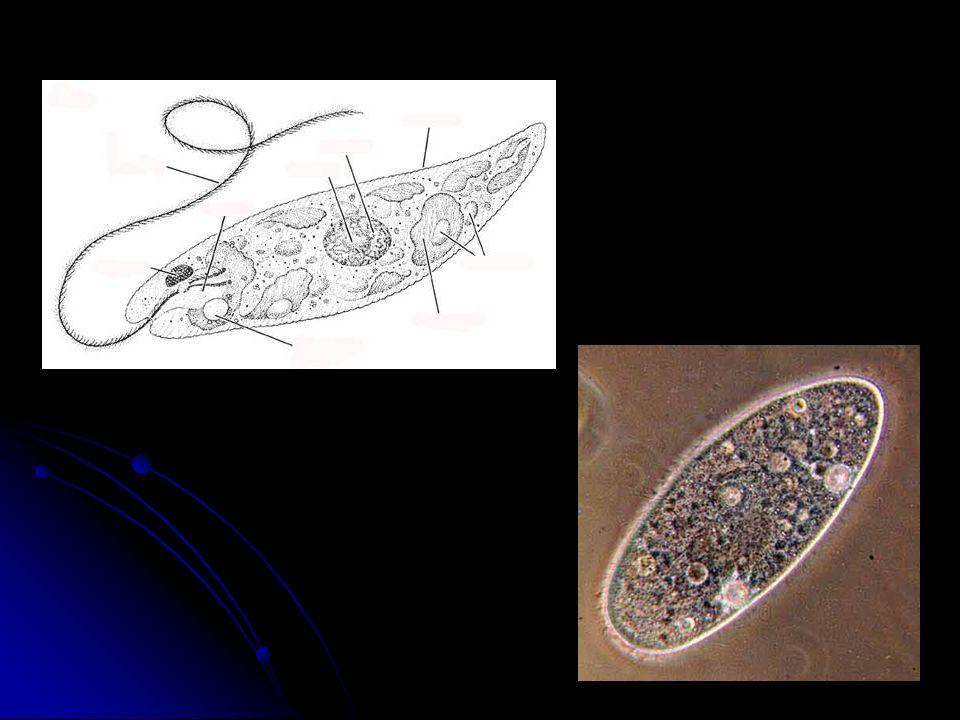 Centríolo Os centríolos não são membranosos. Formados por um conjunto de tubos possuem forma cilíndrica e participam da divisão celular.