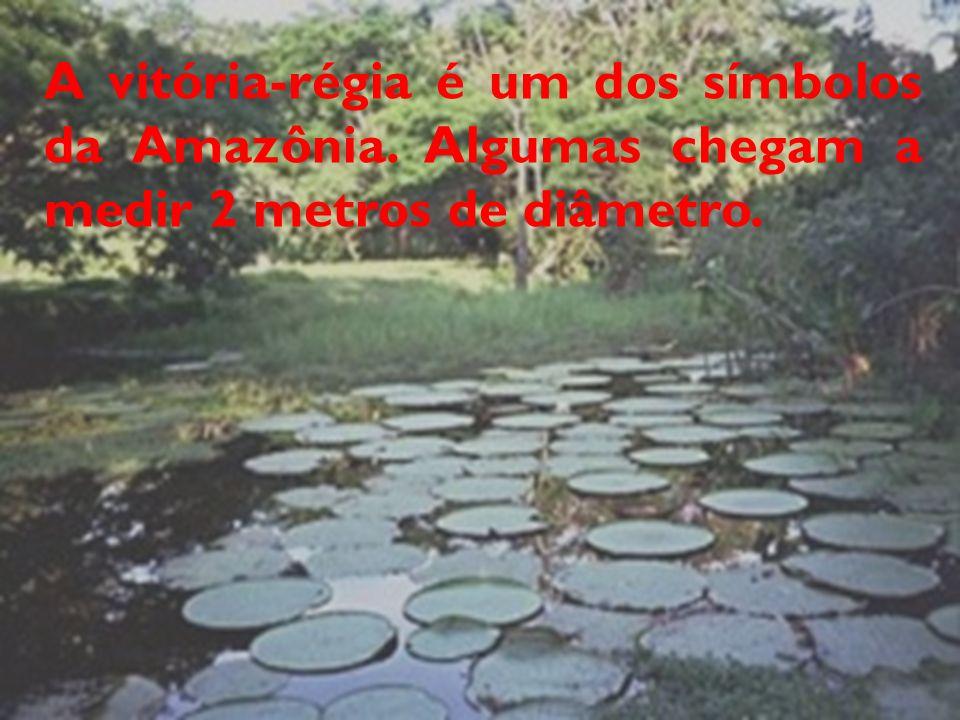 A vitória-régia é um dos símbolos da Amazônia. Algumas chegam a medir 2 metros de diâmetro.