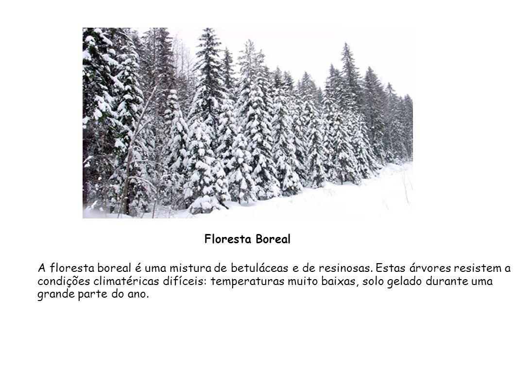 A floresta boreal é uma mistura de betuláceas e de resinosas. Estas árvores resistem a condições climatéricas difíceis: temperaturas muito baixas, sol