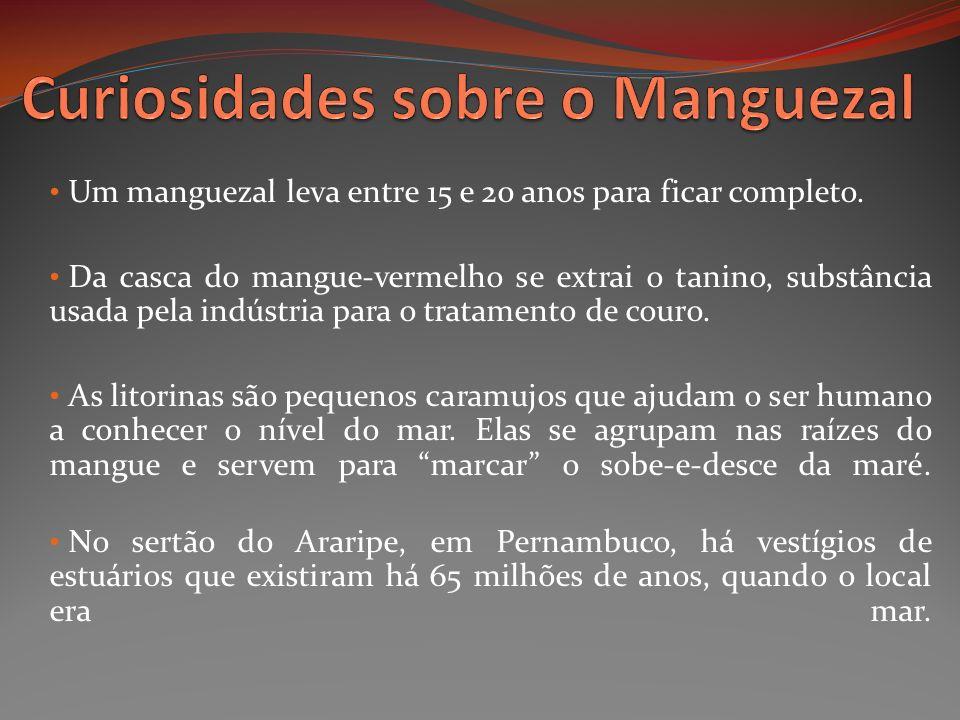 Um manguezal leva entre 15 e 20 anos para ficar completo. Da casca do mangue-vermelho se extrai o tanino, substância usada pela indústria para o trata